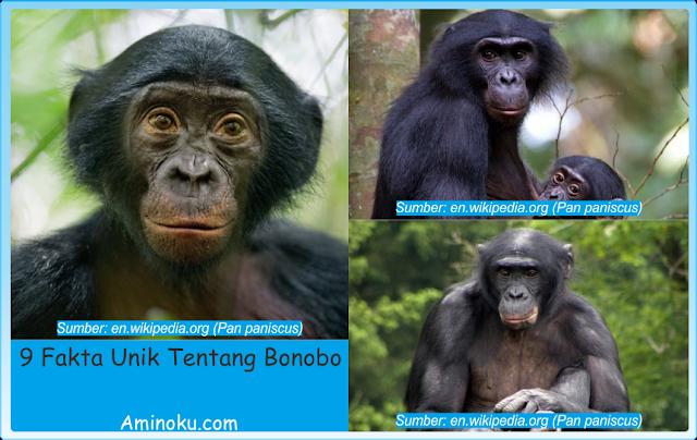Fakta Unik Bonobo