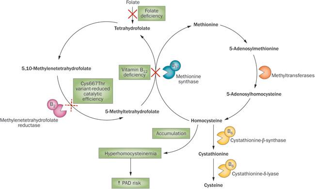anemia sideropenica e improvvisa perdita di peso