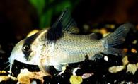 Ikan Corydoras Dan Cara Merawatnya di akuarium