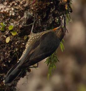 Burung munguk papua