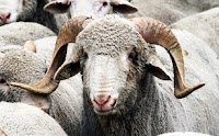 jenis domba rambouillet jantan