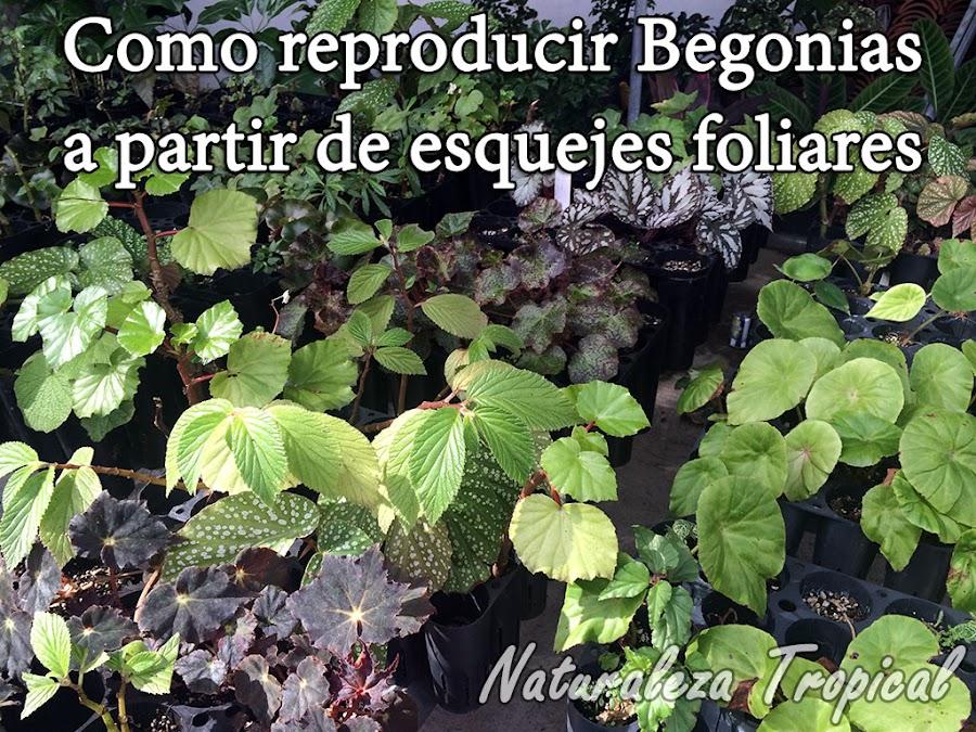 Como cultivar begonias a partir de esquejes foliares