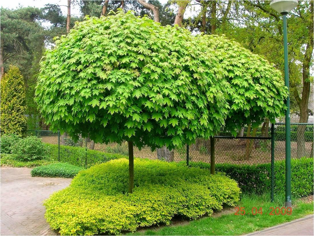 Rboles de sombra y decorativos para jardines peque os for Arboles para jardin de hoja perenne