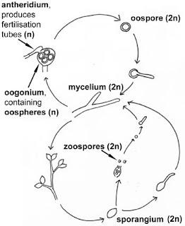 siklus hidup Oomycota