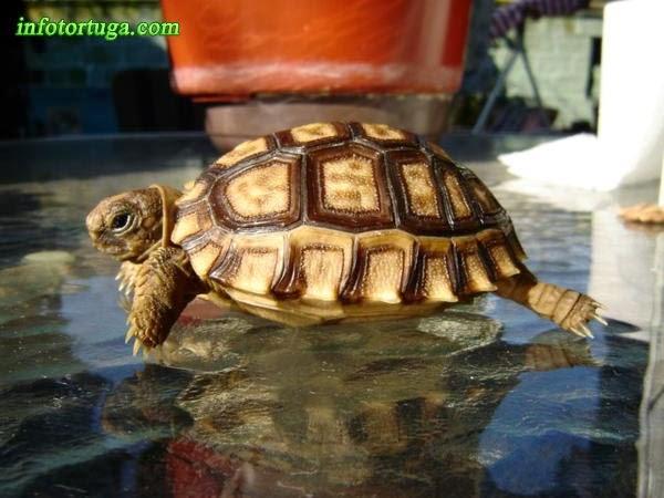 Patagonian Tortoise