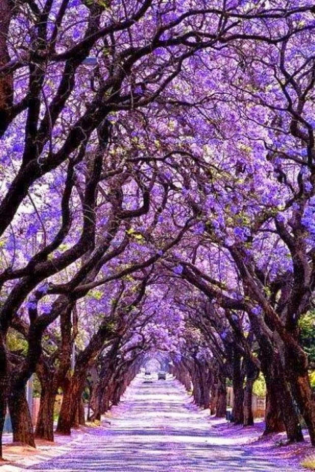 Jacaranda Tree Tunnel, Sydney, Australia | Australia the perfect land photography lovers