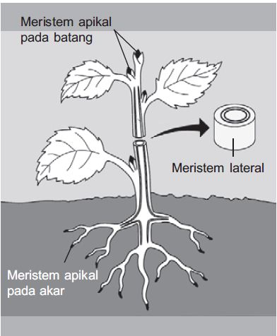 Jaringan Tumbuhan, (Jaringan Maristem, Maristem Primer, Maristem Sekunder, Jaringan Dewasa, Epidermis, jaringan pelindung, Stomata, Trikomata)
