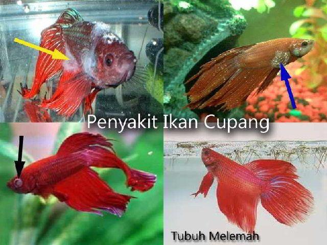 Penyakit Ikan Cupang