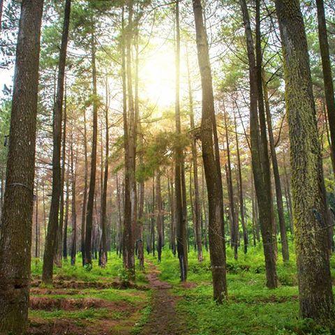Hutan pinus Nglimut