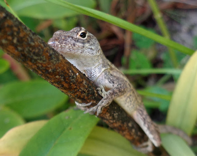 Brown Anole Lizard Hanging On