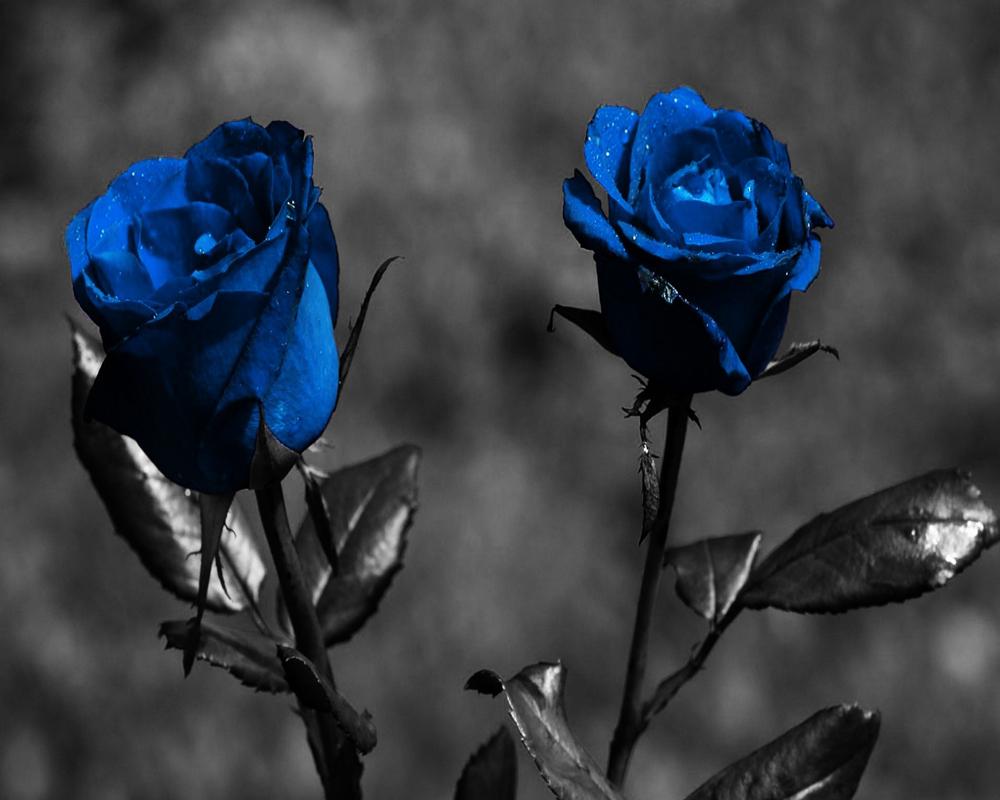 Wallpaper: Dark Rose Wallpapers