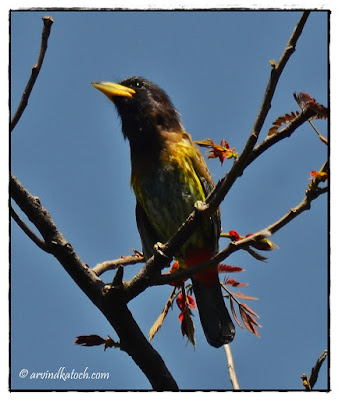 Great Barbet