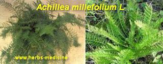 menstrual pain use Achillea millefolium