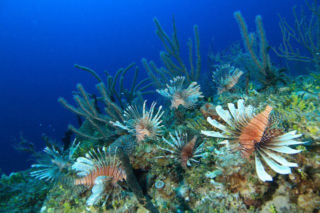 overpopulation lionfish