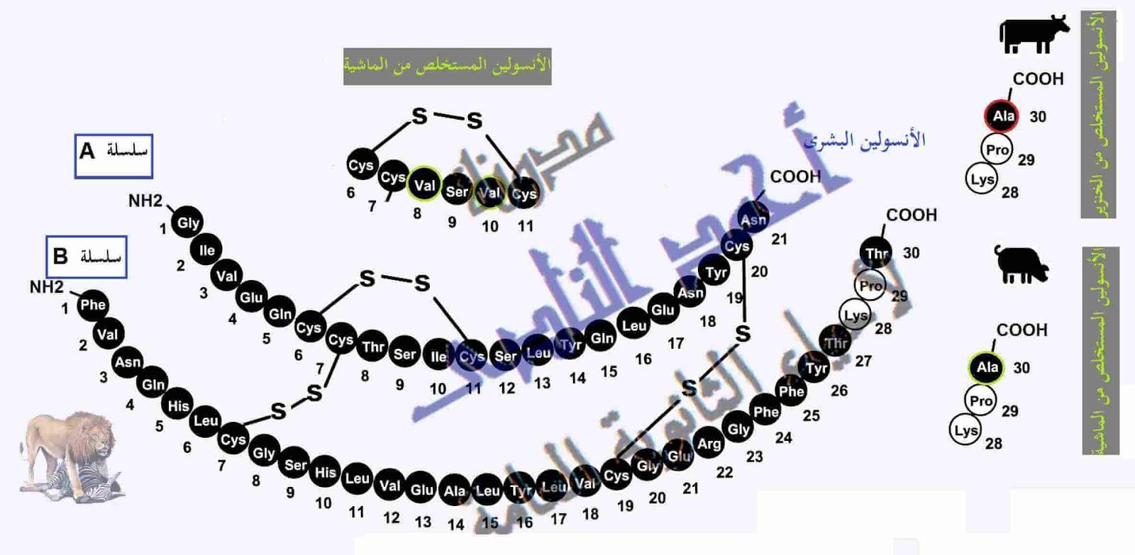 أحياء الثانوية  العامة - تقنيات التكنولوجيا الجزيئية ( الهندسة الوراثية ) - تقنية DNA معاد الإتحاد -  الأنسولين