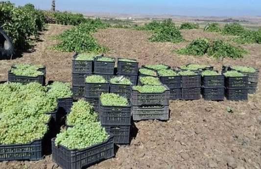 تحويل 50 مليون ليرة من أثمان العنب العصيري للمزارعين بالسويداء