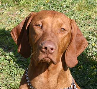 Hungarian-Vizsla-dog-face