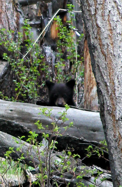 peek-a-boo, black bear, Yellowstone, http://bec4-beyondthepicketfence.blogspot.com/2016/05/work-hard-play-hard.html