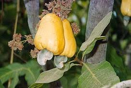 https://2.bp.blogspot.com/-qlXh82Lo8S4/UsS42oUJ3qI/AAAAAAAAEaM/ezA6U44lQyk/s1600/Gui1_cashewfruit2.jpg