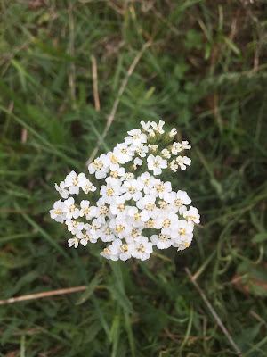 achillée millefolium, bord de champ