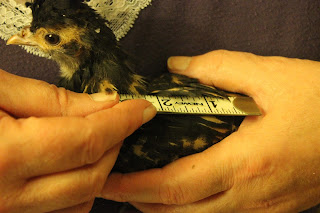 Measuring golden Polish chick for a costume