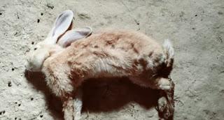 Penyakit Kelinci Berbahaya dan Obatnya