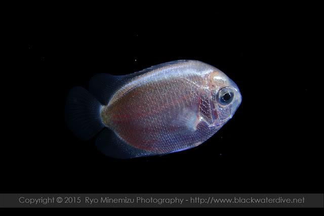 キンチャクダイ科(Pomacanthidae)の稚魚