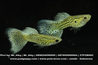 Jual Guppy Blue Mowkow,  Harga Guppy Blue Mowkow,  Toko Guppy Blue Mowkow,  Diskon Guppy Blue Mowkow,  Beli Guppy Blue Mowkow,  Review Guppy Blue Mowkow,  Promo Guppy Blue Mowkow,  Spesifikasi Guppy Blue Mowkow,  Guppy Blue Mowkow Murah,  Guppy Blue Mowkow Asli,  Guppy Blue Mowkow Original,  Guppy Blue Mowkow Jakarta,  Jenis Guppy Blue Mowkow,  Budidaya Guppy Blue Mowkow,  Peternak Guppy Blue Mowkow,  Cara Merawat Guppy Blue Mowkow,  Tips Merawat Guppy Blue Mowkow,  Bagaimana cara merawat Guppy Blue Mowkow,  Bagaimana mengobati Guppy Blue Mowkow,  Ciri-Ciri Hamil Guppy Blue Mowkow,  Kandang Guppy Blue Mowkow,  Ternak Guppy Blue Mowkow,  Makanan Guppy Blue Mowkow,  Guppy Blue Mowkow Termahal,  Adopsi Guppy Blue Mowkow,  Jual Cepat Guppy Blue Mowkow,  Guppy Blue Mowkow  Jakarta,  Guppy Blue Mowkow  Bandung,  Guppy Blue Mowkow  Medan,  Guppy Blue Mowkow  Bali,  Guppy Blue Mowkow  Makassar,  Guppy Blue Mowkow  Jambi,  Guppy Blue Mowkow  Pekanbaru,  Guppy Blue Mowkow  Palembang,  Guppy Blue Mowkow  Sumatera,  Guppy Blue Mowkow  Langsa,  Guppy Blue Mowkow  Lhokseumawe,  Guppy Blue Mowkow  Meulaboh,  Guppy Blue Mowkow  Sabang,  Guppy Blue Mowkow  Subulussalam,  Guppy Blue Mowkow  Denpasar,  Guppy Blue Mowkow  Pangkalpinang,  Guppy Blue Mowkow  Cilegon,  Guppy Blue Mowkow  Serang,  Guppy Blue Mowkow  Tangerang Selatan,  Guppy Blue Mowkow  Tangerang,  Guppy Blue Mowkow  Bengkulu,  Guppy Blue Mowkow  Gorontalo,  Guppy Blue Mowkow  guppy,  Guppy Blue Mowkow  tropical fish,  Guppy Blue Mowkow  aquarium fish,  Guppy Blue Mowkow  bubble guppies games,  Guppy Blue Mowkow  guppy fish,  Guppy Blue Mowkow  bubble guppies videos,  Guppy Blue Mowkow  bubble guppies episodes,  Guppy Blue Mowkow  bubble guppies full episodes,  Guppy Blue Mowkow  super guppy,  Guppy Blue Mowkow  bubble guppies cast,  Guppy Blue Mowkow  aquarium online,  Guppy Blue Mowkow  bubble guppies songs,  Guppy Blue Mowkow  tetra aquarium,  Guppy Blue Mowkow  guppies for sale,  Guppy Blue Mowkow  pregnant guppy,  Guppy Blue Mowkow  bubble guppies characters,  Guppy Blue Mowkow  bubble guppy,  Guppy Blue Mowkow  bubble guppies names,  Guppy Blue Mowkow  guppies fish,  Guppy Blue Mowkow  guppy breeding,  Guppy Blue Mowkow  breeding guppies,  Guppy Blue Mowkow  bubble guppie,  Guppy Blue Mowkow  nick jr bubble guppies,  Guppy Blue Mowkow  bubble guppies coloring pages,  Guppy Blue Mowkow  bubble guppies video,  Guppy Blue Mowkow  bubble guppy games,  Guppy Blue Mowkow  guppy aquarium,  Guppy Blue Mowkow  guppy care,  Guppy Blue Mowkow  baby guppies,  Guppy Blue Mowkow  design aquarium,  Guppy Blue Mowkow  how to breed guppies,  Guppy Blue Mowkow  endlers guppy,  Guppy Blue Mowkow  bubble guppies wiki,  Guppy Blue Mowkow  bubble guppies game,  Guppy Blue Mowkow  guppies care,  Guppy Blue Mowkow  guppy fry,  Guppy Blue Mowkow  male guppies,  Guppy Blue Mowkow  buble guppies,  Guppy Blue Mowkow  guppy fish care,  Guppy Blue Mowkow  female guppies,  Guppy Blue Mowkow  female guppy,  Guppy Blue Mowkow  guppy tank,  Guppy Blue Mowkow  types of guppies,  Guppy Blue Mowkow  online aquarium,  Guppy Blue Mowkow  guppies aquarium,  Guppy Blue Mowkow  pregnant guppies,  Guppy Blue Mowkow  guppy giving birth,  Guppy Blue Mowkow  what do guppies eat,  Guppy Blue Mowkow  guppy life span,  Guppy Blue Mowkow  guppy pond,  Guppy Blue Mowkow  guppy grass,  Guppy Blue Mowkow  guppies breeding,  Guppy Blue Mowkow  aquarium guppy,  Guppy Blue Mowkow  guppies giving birth,  Guppy Blue Mowkow  bubble guppies pictures,  Guppy Blue Mowkow  bubble guppies show,  Guppy Blue Mowkow  male guppy,  Guppy Blue Mowkow  guppy fish for sale,  Guppy Blue Mowkow  pregnant guppy fish,  Guppy Blue Mowkow  endler guppies,  Guppy Blue Mowkow  guppy babies,  Guppy Blue Mowkow  the bubble guppies,  Guppy Blue Mowkow  bubble guppies images,  Guppy Blue Mowkow  bubble guppies bubble puppy,  Guppy Blue Mowkow  guppy food,  Guppy Blue Mowkow  ferplast aquarium,  Guppy Blue Mowkow  guppy temperature,  Guppy Blue Mowkow  the binding isaac,  Guppy Blue Mowkow  guppy tail,  Guppy Blue Mowkow  the rebirth of isaac,  Guppy Blue Mowkow  the binding of isaac rebirth guppy,  Guppy Blue Mowkow  isaac the game,  Guppy Blue Mowkow  guppie fish,  Guppy Blue Mowkow  guppy fish breeding,  Guppy Blue Mowkow  guppy for sale,  Guppy Blue Mowkow  guppy tank mates,  Guppy Blue Mowkow  aquarium shop online,  Guppy Blue Mowkow  guppy gestation,  Guppy Blue Mowkow  the binding of isaac guppy,  Guppy Blue Mowkow  keeping guppies,  Guppy Blue Mowkow  guppy definition,  Guppy Blue Mowkow  guppy meaning,  Guppy Blue Mowkow  guppy breathing,  Guppy Blue Mowkow  fish tropical,  Guppy Blue Mowkow  endlers guppies,  Guppy Blue Mowkow  baby guppy,  Guppy Blue Mowkow  nickelodeon bubble guppies,  Guppy Blue Mowkow  guppy fish tank,  Guppy Blue Mowkow  guppy types,  Guppy Blue Mowkow  guppy fish types,  Guppy Blue Mowkow  guppy diseases,  Guppy Blue Mowkow  the binding of isaac 2,  Guppy Blue Mowkow  isaac the binding,  Guppy Blue Mowkow  wild guppies,  Guppy Blue Mowkow  wild guppy,  Guppy Blue Mowkow  fantail guppies,  Guppy Blue Mowkow  guppy pregnancy,  Guppy Blue Mowkow  lyretail guppy,  Guppy Blue Mowkow  pregnant guppy stages,  Guppy Blue Mowkow  guppy pregnant,  Guppy Blue Mowkow  male and female guppies,  Guppy Blue Mowkow  bubble guppys,  Guppy Blue Mowkow  guppy birth,  Guppy Blue Mowkow  do guppies need a heater,  Guppy Blue Mowkow  pictures of guppies,  Guppy Blue Mowkow  guppy fish life span,  Guppy Blue Mowkow  guppy water temperature,  Guppy Blue Mowkow  show guppies,  Guppy Blue Mowkow  black guppy,  Guppy Blue Mowkow  red guppy,  Guppy Blue Mowkow  binding isaac wiki,  Guppy Blue Mowkow  binding of isaac 2,  Guppy Blue Mowkow  moscow guppy,  Guppy Blue Mowkow  guppy forum,  Guppy Blue Mowkow  guppies online,  Guppy Blue Mowkow  fantail guppy,  Guppy Blue Mowkow  yellow guppy,  Guppy Blue Mowkow  snakeskin guppy,  Guppy Blue Mowkow  guppy fry growth chart,  Guppy Blue Mowkow  guppy fish food,  Guppy Blue Mowkow  temperature for guppies,  Guppy Blue Mowkow  water temperature for guppies,  Guppy Blue Mowkow  guppy games,  Guppy Blue Mowkow  black moscow guppy,  Guppy Blue Mowkow  full red guppy,  Guppy Blue Mowkow  blue moscow guppy,  Guppy Blue Mowkow  game isaac,  Guppy Blue Mowkow  male guppy fish,  Guppy Blue Mowkow  guppy varieties,  Guppy Blue Mowkow  albino guppy,  Guppy Blue Mowkow  guppy pregnancy stages,  Guppy Blue Mowkow  tequila sunrise guppy,  Guppy Blue Mowkow  guppy fin rot,  Guppy Blue Mowkow  guppy genetics,  Guppy Blue Mowkow  pink guppy,  Guppy Blue Mowkow  the guppy,  Guppy Blue Mowkow  highland guppy,  Guppy Blue Mowkow  guppy breeding tank,  Guppy Blue Mowkow  guppy breeds,  Guppy Blue Mowkow  show guppies for sale,  Guppy Blue Mowkow  guppies for sale uk,  Guppy Blue Mowkow  is my guppy pregnant,  Guppy Blue Mowkow  guppies having babies,  Guppy Blue Mowkow  guppy female,  Guppy Blue Mowkow  guppy fry care,  Guppy Blue Mowkow  do guppies need a filter,  Guppy Blue Mowkow  do guppies eat their babies,  Guppy Blue Mowkow  do guppies sleep,  Guppy Blue Mowkow  aquarium 40 liter,  Guppy Blue Mowkow  guppy game,  Guppy Blue Mowkow  neon guppies,  Guppy Blue Mowkow  neon guppy,  Guppy Blue Mowkow  guppy neon,  Guppy Blue Mowkow  isaac of binding,  Guppy Blue Mowkow  moscow blue guppy,  Guppy Blue Mowkow  guppy tail rot,  Guppy Blue Mowkow  isaac the rebirth,  Guppy Blue Mowkow  fish guppies,  Guppy Blue Mowkow  guppies dying,  Guppy Blue Mowkow  guppy species,  Guppy Blue Mowkow  guppy gravid spot,  Guppy Blue Mowkow  the of isaac,  Guppy Blue Mowkow  breeding guppies for beginners,  Guppy Blue Mowkow  guppy breeding cycle,  Guppy Blue Mowkow  female guppies for sale,  Guppy Blue Mowkow  guppies pregnant,  Guppy Blue Mowkow  pregnant female guppy,  Guppy Blue Mowkow  caring for guppies,  Guppy Blue Mowkow  guppies babies,  Guppy Blue Mowkow  guppy fry growth,  Guppy Blue Mowkow  guppy tank setup,  Guppy Blue Mowkow  guppy fish giving birth,  Guppy Blue Mowkow  guppy fry food,  Guppy Blue Mowkow  different types of guppies,  Guppy Blue Mowkow  types of guppy,  Guppy Blue Mowkow  guppy pictures,  Guppy Blue Mowkow  aquarium voor beginners,  Guppy Blue Mowkow  guppy life cycle,  Guppy Blue Mowkow  guppies temperature,  Guppy Blue Mowkow  guppy gestation period,  Guppy Blue Mowkow  the binding of the isaac,  Guppy Blue Mowkow  feeding guppies,  Guppy Blue Mowkow  guppi fish,  Guppy Blue Mowkow  guppy fish facts,  Guppy Blue Mowkow  guppy breeders,  Guppy Blue Mowkow  guppy wiki,  Guppy Blue Mowkow  freshwater guppies,  Guppy Blue Mowkow  rare guppies,  Guppy Blue Mowkow  raising guppies,  Guppy Blue Mowkow  guppy colors,  Guppy Blue Mowkow  guppy strains,  Guppy Blue Mowkow  guppy size,  Guppy Blue Mowkow  turquoise guppy,  Guppy Blue Mowkow  leopard guppy,  Guppy Blue Mowkow  guppy love,  Guppy Blue Mowkow  guppy images,  Guppy Blue Mowkow  guppy plant,  Guppy Blue Mowkow  water temp for guppies,  Guppy Blue Mowkow  guppy breeding setup,  Guppy Blue Mowkow  guppies for sale online,  Guppy Blue Mowkow  guppys aquarium,  Guppy Blue Mowkow  guppy fish pregnant,  Guppy Blue Mowkow  guppy care sheet,  Guppy Blue Mowkow  endler guppy hybrid,  Guppy Blue Mowkow  baby guppy fish,  Guppy Blue Mowkow  female guppy fish,  Guppy Blue Mowkow  bubble guppies nickelodeon,  Guppy Blue Mowkow  guppy tanks,  Guppy Blue Mowkow  guppies food,  Guppy Blue Mowkow  best food for guppies,  Guppy Blue Mowkow  tropical guppies,  Guppy Blue Mowkow  black guppy fish,  Guppy Blue Mowkow  black moscow guppies,  Guppy Blue Mowkow  gestation period for guppies,  Guppy Blue Mowkow  blue neon guppy,  Guppy Blue Mowkow  red mosaic guppy,  Guppy Blue Mowkow  betta and guppies,  Guppy Blue Mowkow  guppy fishes,  Guppy Blue Mowkow  fish compatible with guppies,  Guppy Blue Mowkow  what is a guppy fish,  Guppy Blue Mowkow  guppy s,  Guppy Blue Mowkow  guppy guppy,  Guppy Blue Mowkow  guppy facts,  Guppy Blue Mowkow  guppy behavior,  Guppy Blue Mowkow  green guppy,  Guppy Blue Mowkow  white guppy,  Guppy Blue Mowkow  guppy dropsy,  Guppy Blue Mowkow  purple guppy,  Guppy Blue Mowkow  bloated guppy,  Guppy Blue Mowkow  angelfish and guppies,  Guppy Blue Mowkow  fin rot guppy,  Guppy Blue Mowkow  guppies keep dying,  Guppy Blue Mowkow  mollies and guppies,  Guppy Blue Mowkow  stages of guppy pregnancy,  Guppy Blue Mowkow  south african guppies,  Guppy Blue Mowkow  mosaic guppy,  Guppy Blue Mowkow  guppy cartoon,  Guppy Blue Mowkow  breeding guppy,  Guppy Blue Mowkow  aquarium guppies,  Guppy Blue Mowkow  pregnant guppie,  Guppy Blue Mowkow  female guppy pregnant,  Guppy Blue Mowkow  guppy tank size,  Guppy Blue Mowkow  guppies tank mates,  Guppy Blue Mowkow  do guppies give live birth,  Guppy Blue Mowkow  buy guppies,  Guppy Blue Mowkow  food for guppies,  Guppy Blue Mowkow  types of guppy fish,  Guppy Blue Mowkow  guppy disease,  Guppy Blue Mowkow  tropical fish guppies,  Guppy Blue Mowkow  black guppies,  Guppy Blue Mowkow  guppy black,  Guppy Blue Mowkow  red guppies,  Guppy Blue Mowkow  red guppy fish,  Guppy Blue Mowkow  moscow guppies,  Guppy Blue Mowkow  guppies and bettas,  Guppy Blue Mowkow  guppy fish information,  Guppy Blue Mowkow  guppy fish images,  Guppy Blue Mowkow  all about guppies,  Guppy Blue Mowkow  guppy breeder,  Guppy Blue Mowkow  guppys online,  Guppy Blue Mowkow  guppy poecilia reticulata,  Guppy Blue Mowkow  guppy a,  Guppy Blue Mowkow  purple guppies,  Guppy Blue Mowkow  beautiful guppies,  Guppy Blue Mowkow  guppy pdf,  Guppy Blue Mowkow  guppy swimming vertically,  Guppy Blue Mowkow  guppy names,  Guppy Blue Mowkow  yellow guppies,  Guppy Blue Mowkow  male guppies fighting,  Guppy Blue Mowkow  guppies and tetras,  Guppy Blue Mowkow  saltwater guppies,  Guppy Blue Mowkow  guppies and mollies,  Guppy Blue Mowkow  the guppies,  Guppy Blue Mowkow  breeding guppies in community tank,  Guppy Blue Mowkow  breed guppies,  Guppy Blue Mowkow  live guppies for sale,  Guppy Blue Mowkow  guppies fish for sale,  Guppy Blue Mowkow  breeding guppies for profit,  Guppy Blue Mowkow  guppies aquarium products,  Guppy Blue Mowkow  taking care of guppies,  Guppy Blue Mowkow  guppies fish care,  Guppy Blue Mowkow  john endler guppies,  Guppy Blue Mowkow  guppy fish babies,  Guppy Blue Mowkow  male and female guppy,  Guppy Blue Mowkow  guppy fry development,  Guppy Blue Mowkow  guppy fry stages,  Guppy Blue Mowkow  guppies fish tank,  Guppy Blue Mowkow  guppies tank,  Guppy Blue Mowkow  guppy fry tank,  Guppy Blue Mowkow  female guppy giving birth,  Guppy Blue Mowkow  pregnant guppy giving birth,  Guppy Blue Mowkow  guppies birth,  Guppy Blue Mowkow  guppy give birth,  Guppy Blue Mowkow  guppies types,  Guppy Blue Mowkow  how much do guppies cost,  Guppy Blue Mowkow  do guppies eat algae,  Guppy Blue Mowkow  guppy diseases pictures,  Guppy Blue Mowkow  pregnant guppy pictures,  Guppy Blue Mowkow  pictures of guppy fish,  Guppy Blue Mowkow  guppy fish diseases,  Guppy Blue Mowkow  show guppy,  Guppy Blue Mowkow  guppy tropical fish,  Guppy Blue Mowkow  guppies tropical fish,  Guppy Blue Mowkow  half black guppy,  Guppy Blue Mowkow  neon blue guppy,  Guppy Blue Mowkow  guppies and neon tetras,  Guppy Blue Mowkow  binding of the isaac,  Guppy Blue Mowkow  moscow blue guppies,  Guppy Blue Mowkow  of isaac game,  Guppy Blue Mowkow  feeding guppy fry,  Guppy Blue Mowkow  game the binding of isaac,  Guppy Blue Mowkow  the binding of isaac the game,  Guppy Blue Mowkow  blue guppy fish,  Guppy Blue Mowkow  fish that can live with guppies,  Guppy Blue Mowkow  images of guppy fish,  Guppy Blue Mowkow  guppy online,  Guppy Blue Mowkow  albino guppies,  Guppy Blue Mowkow  pics of guppies,  Guppy Blue Mowkow  my guppies keep dying,  Guppy Blue Mowkow  guppy colours,  Guppy Blue Mowkow  guppy growth chart,  Guppy Blue Mowkow  golden guppy,  Guppy Blue Mowkow  colorful guppies,  Guppy Blue Mowkow  columnaris guppy,  Guppy Blue Mowkow  guppy diet,  Guppy Blue Mowkow  dragon guppy,  Guppy Blue Mowkow  atfg guppy,  Guppy Blue Mowkow  blue diamond guppy,  Guppy Blue Mowkow  gold guppy,  Guppy Blue Mowkow  guppy scientific name,  Guppy Blue Mowkow  guppies fighting,  Guppy Blue Mowkow  pingu guppy,  Guppy Blue Mowkow  trinidadian guppies,  Guppy Blue Mowkow  dropsy guppy,  Guppy Blue Mowkow  fat guppy,  Guppy Blue Mowkow  guppy guppies,  Guppy Blue Mowkow  guppy singapore,  Guppy Blue Mowkow  sunset guppy,  Guppy Blue Mowkow  guppy natural habitat,  Guppy Blue Mowkow  guppies breeding cycle,  Guppy Blue Mowkow  breeding tank for guppies,  Guppy Blue Mowkow  guppy breeding guide,  Guppy Blue Mowkow  guppies fish breeding,  Guppy Blue Mowkow  guppy breeding trap,  Guppy Blue Mowkow  guppy breeding tank setup,  Guppy Blue Mowkow  guppy sale,  Guppy Blue Mowkow  rare guppies for sale,  Guppy Blue Mowkow  endler guppies for sale,  Guppy Blue Mowkow  aquarium de guppy,  Guppy Blue Mowkow  pregnant guppy behavior,  Guppy Blue Mowkow  guppie care,  Guppy Blue Mowkow  guppy care guide,  Guppy Blue Mowkow  baby guppy care,  Guppy Blue Mowkow  guppy having babies,  Guppy Blue Mowkow  guppies male or female,  Guppy Blue Mowkow  guppies female,  Guppy Blue Mowkow  guppy fish female,  Guppy Blue Mowkow  guppies fry,  Guppy Blue Mowkow  raising guppy fry,  Guppy Blue Mowkow  guppy birth signs,  Guppy Blue Mowkow  guppies live birth,  Guppy Blue Mowkow  guppy fish pictures,  Guppy Blue Mowkow  guppies pictures,  Guppy Blue Mowkow  female guppy pictures,  Guppy Blue Mowkow  life cycle of a guppy,  Guppy Blue Mowkow  guppies water temperature,  Guppy Blue Mowkow  tropical fish guppy,  Guppy Blue Mowkow  tropical guppy,  Guppy Blue Mowkow  moscow black guppy,  Guppy Blue Mowkow  neon tetras and guppies,  Guppy Blue Mowkow  guppy tails,  Guppy Blue Mowkow  guppy feeding,  Guppy Blue Mowkow  bettas and guppies,  Guppy Blue Mowkow  guppies and betta,  Guppy Blue Mowkow  can guppies live with bettas,  Guppy Blue Mowkow  guppy fish price,  Guppy Blue Mowkow  guppy fish varieties,  Guppy Blue Mowkow  wild guppy fish,  Guppy Blue Mowkow  guppys fish,  Guppy Blue Mowkow  guppies information,  Guppy Blue Mowkow  free guppies,  Guppy Blue Mowkow  blue glass guppy,  Guppy Blue Mowkow  guppy d,  Guppy Blue Mowkow  pink guppies,  Guppy Blue Mowkow  guppy behaviour,  Guppy Blue Mowkow  common guppy,  Guppy Blue Mowkow  ribbon guppy,  Guppy Blue Mowkow  kinds of guppies,  Guppy Blue Mowkow  gonopodium guppy,  Guppy Blue Mowkow  rare guppy,  Guppy Blue Mowkow  guppy compatibility,  Guppy Blue Mowkow  pretty guppies,  Guppy Blue Mowkow  snakeskin guppies,  Guppy Blue Mowkow  guppy anatomy,  Guppy Blue Mowkow  green guppies,  Guppy Blue Mowkow  guppies in the wild,  Guppy Blue Mowkow  guppy growth,  Guppy Blue Mowkow  guppy water temp,  Guppy Blue Mowkow  guppy swim bladder,  Guppy Blue Mowkow  german yellow guppy,  Guppy Blue Mowkow  guppy videos,  Guppy Blue Mowkow  cartoon guppy,  Guppy Blue Mowkow  guppy not eating,  Guppy Blue Mowkow  exotic guppy,  Guppy Blue Mowkow  breeding guppys,  Guppy Blue Mowkow  breeding guppy fish,  Guppy Blue Mowkow  guppies for sale cheap,  Guppy Blue Mowkow  guppy breed,  Guppy Blue Mowkow  cheap guppies for sale,  Guppy Blue Mowkow  wild guppies for sale,  Guppy Blue Mowkow  guppys for sale,  Guppy Blue Mowkow  baby guppies for sale,  Guppy Blue Mowkow  guppy fry for sale,  Guppy Blue Mowkow  guppy fish aquarium,  Guppy Blue Mowkow  aquarium fish guppy,  Guppy Blue Mowkow  care for guppies,  Guppy Blue Mowkow  bubble guppies nick,  Guppy Blue Mowkow  nick bubble guppies,  Guppy Blue Mowkow  guppie fry,  Guppy Blue Mowkow  caring for guppy fry,  Guppy Blue Mowkow  guppy fish tanks,  Guppy Blue Mowkow  female guppies giving birth,  Guppy Blue Mowkow  where to buy guppies,  Guppy Blue Mowkow  fish food for guppies,  Guppy Blue Mowkow  pictures of pregnant guppies,  Guppy Blue Mowkow  albino red guppy,  Guppy Blue Mowkow  moscow green guppy,  Guppy Blue Mowkow  purple moscow guppies,  Guppy Blue Mowkow  isaac of rebirth,  Guppy Blue Mowkow  feeding baby guppies,  Guppy Blue Mowkow  guppy photo,  Guppy Blue Mowkow  game binding of isaac,  Guppy Blue Mowkow  a guppy fish,  Guppy Blue Mowkow  compatible fish with guppies,  Guppy Blue Mowkow  live guppies,  Guppy Blue Mowkow  poecilia reticulata guppy,  Guppy Blue Mowkow  exotic guppies,  Guppy Blue Mowkow  guppy price,  Guppy Blue Mowkow  guppy video,  Guppy Blue Mowkow  guppy wallpaper,  Guppy Blue Mowkow  white guppies,  Guppy Blue Mowkow  lyretail guppies,  Guppy Blue Mowkow  small guppies,  Guppy Blue Mowkow  guppy mouth,  Guppy Blue Mowkow  blonde guppy,  Guppy Blue Mowkow  peacock guppy,  Guppy Blue Mowkow  looking after guppies,  Guppy Blue Mowkow  guppy bent spine,  Guppy Blue Mowkow  plants for guppies,  Guppy Blue Mowkow  guppy predators,  Guppy Blue Mowkow  beautiful guppy,  Guppy Blue Mowkow  guppy eyes,  Guppy Blue Mowkow  guppy gonopodium,  Guppy Blue Mowkow  singapore guppy,  Guppy Blue Mowkow  dropsy in guppies,  Guppy Blue Mowkow  guppy fungus,  Guppy Blue Mowkow  gubbi fish,  Guppy Blue Mowkow  selective breeding guppies,  Guppy Blue Mowkow  breeding mollies and guppies,  Guppy Blue Mowkow  breeds of guppies,  Guppy Blue Mowkow  guppies sale,  Guppy Blue Mowkow  guppy breeding net,  Guppy Blue Mowkow  rare guppy breeds,  Guppy Blue Mowkow  guppie breeding,  Guppy Blue Mowkow  albino guppies for sale,  Guppy Blue Mowkow  blue guppies for sale,  Guppy Blue Mowkow  pregnant guppies for sale,  Guppy Blue Mowkow  guppy aquariums,  Guppy Blue Mowkow  aquarium a guppy,  Guppy Blue Mowkow  care of guppies,  Guppy Blue Mowkow  baby guppies care,  Guppy Blue Mowkow  guppy baby fish,  Guppy Blue Mowkow  guppy male female,  Guppy Blue Mowkow  male female guppies,  Guppy Blue Mowkow  bubble guppies on nick jr,  Guppy Blue Mowkow  guppy breeder tank,  Guppy Blue Mowkow  buy guppy fish,  Guppy Blue Mowkow  baby guppy food,  Guppy Blue Mowkow  type of guppies,  Guppy Blue Mowkow  do guppies need air pump,  Guppy Blue Mowkow  pictures of guppies fish,  Guppy Blue Mowkow  picture of guppies,  Guppy Blue Mowkow  female guppies pictures,  Guppy Blue Mowkow  guppy picture,  Guppy Blue Mowkow  guppies life span,  Guppy Blue Mowkow  life span of guppies,  Guppy Blue Mowkow  guppy life expectancy,  Guppy Blue Mowkow  show quality guppies,  Guppy Blue Mowkow  breeding show guppies,  Guppy Blue Mowkow  tropical guppy fish,  Guppy Blue Mowkow  guppy fish game,  Guppy Blue Mowkow  guppies gestation period,  Guppy Blue Mowkow  guppies gestation,  Guppy Blue Mowkow  fan tail guppies,  Guppy Blue Mowkow  fan tailed guppies,  Guppy Blue Mowkow  dragon tail guppy,  Guppy Blue Mowkow  the rebirth of isaac game,  Guppy Blue Mowkow  the isaac game,  Guppy Blue Mowkow  guppies feeding,  Guppy Blue Mowkow  guppy photos,  Guppy Blue Mowkow  about guppy fish,  Guppy Blue Mowkow  yellow guppy fish,  Guppy Blue Mowkow  guppy fish bowl,  Guppy Blue Mowkow  selling guppies,  Guppy Blue Mowkow  guppy pics,  Guppy Blue Mowkow  about guppies,  Guppy Blue Mowkow  ifga guppies,  Guppy Blue Mowkow  taiwan guppy,  Guppy Blue Mowkow  guppies price,  Guppy Blue Mowkow  different kinds of guppies,  Guppy Blue Mowkow  guppy blog,  Guppy Blue Mowkow  guppy plants,  Guppy Blue Mowkow  guppy green,  Guppy Blue Mowkow  tankmates for guppies,  Guppy Blue Mowkow  freshwater guppy,  Guppy Blue Mowkow  tequila sunrise guppies,  Guppy Blue Mowkow  endless guppy,  Guppy Blue Mowkow  platies and guppies,  Guppy Blue Mowkow  guppy parasites,  Guppy Blue Mowkow  guppy pet,  Guppy Blue Mowkow  guppy illness,  Guppy Blue Mowkow  pet guppies,  Guppy Blue Mowkow  guppy white,  Guppy Blue Mowkow  guppies species,  Guppy Blue Mowkow  hybrid guppies,  Guppy Blue Mowkow  breeding tanks for guppies,  Guppy Blue Mowkow  guppy breeding tanks,  Guppy Blue Mowkow  guppy care and breeding,  Guppy Blue Mowkow  breeding guppies for feeders,  Guppy Blue Mowkow  guppy fish sale,  Guppy Blue Mowkow  breeding guppies for sale,  Guppy Blue Mowkow  guppy aquarium fish,  Guppy Blue Mowkow  aquarium guppy fish,  Guppy Blue Mowkow  guppies aquariums,  Guppy Blue Mowkow  pregnant guppys,  Guppy Blue Mowkow  pregnant female guppies,  Guppy Blue Mowkow  raising baby guppies,  Guppy Blue Mowkow  guppy fry color,  Guppy Blue Mowkow  guppy fry size,  Guppy Blue Mowkow  guppy birthing process,  Guppy Blue Mowkow  buying guppies,  Guppy Blue Mowkow  buy guppy fish online,  Guppy Blue Mowkow  buy guppy,  Guppy Blue Mowkow  homemade guppy food,  Guppy Blue Mowkow  pictures of female guppies,  Guppy Blue Mowkow  pictures of baby guppies,  Guppy Blue Mowkow  guppies diseases,  Guppy Blue Mowkow  guppy diseases symptoms,  Guppy Blue Mowkow  life cycle of guppies,  Guppy Blue Mowkow  guppy shows,  Guppy Blue Mowkow  show guppy breeders,  Guppy Blue Mowkow  is a guppy a tropical fish,  Guppy Blue Mowkow  binding the isaac,  Guppy Blue Mowkow  the of isaac game,  Guppy Blue Mowkow  the game isaac,  Guppy Blue Mowkow  guppy fish photos,  Guppy Blue Mowkow  photos of guppies,  Guppy Blue Mowkow  binding isaac game,  Guppy Blue Mowkow  binding game,  Guppy Blue Mowkow  guppies fishing report,  Guppy Blue Mowkow  all about guppy fish,  Guppy Blue Mowkow  the guppy fish,  Guppy Blue Mowkow  how much are guppy fish,  Guppy Blue Mowkow  is a guppy a fish,  Guppy Blue Mowkow  guppy fish wiki,  Guppy Blue Mowkow  guppies fish bowl,  Guppy Blue Mowkow  cheap guppies,  Guppy Blue Mowkow  fresh water guppies,  Guppy Blue Mowkow  how to sell guppies,  Guppy Blue Mowkow  pond guppies,  Guppy Blue Mowkow  information about guppies,  Guppy Blue Mowkow  guppy illnesses,  Guppy Blue Mowkow  guppy hatchery,  Guppy Blue Mowkow  guppy store,  Guppy Blue Mowkow  guppies fin rot,  Guppy Blue Mowkow  common guppies,  Guppy Blue Mowkow  guppy prices,  Guppy Blue Mowkow  guppy mouth fungus,  Guppy Blue Mowkow  singapore guppies,  Guppy Blue Mowkow  guppy book,  Guppy Blue Mowkow  large guppy,  Guppy Blue Mowkow  breading guppies,  Guppy Blue Mowkow  malaysia guppy,  Guppy Blue Mowkow  aggressive guppies,  Guppy Blue Mowkow  guppies diet,  Guppy Blue Mowkow  my guppy,  Guppy Blue Mowkow  robert john lechmere guppy,  Guppy Blue Mowkow  guppy breading,  Guppy Blue Mowkow  guppy forums,  Guppy Blue Mowkow  guppies pics,  Guppy Blue Mowkow  guppy fin rot treatment,  Guppy Blue Mowkow  the re-birth,  Guppy Blue Mowkow  the binding rebirth,  Guppy Blue Mowkow  guppies aquarium supplies,  Guppy Blue Mowkow  aquarium mit guppys,  Guppy Blue Mowkow  guppys im aquarium,  Guppy Blue Mowkow  fry guppy,  Guppy Blue Mowkow  where can i buy guppies,  Guppy Blue Mowkow  breeding guppies for food,  Guppy Blue Mowkow  guppy fish picture,  Guppy Blue Mowkow  binding of isaac original,  Guppy Blue Mowkow  the isaac of binding,  Guppy Blue Mowkow  rebirth of isaac game,  Guppy Blue Mowkow  game of isaac,  Guppy Blue Mowkow  guppies photos,  Guppy Blue Mowkow  guppy fish breeders,  Guppy Blue Mowkow  what is guppy fish,  Guppy Blue Mowkow  guppy water conditions,  Guppy Blue Mowkow  german guppies,  Guppy Blue Mowkow  laser beam guppy,  Guppy Blue Mowkow  the binding of rebirth,  Guppy Blue Mowkow  the binding of isaac a,  Guppy Blue Mowkow  guppy rebirth,