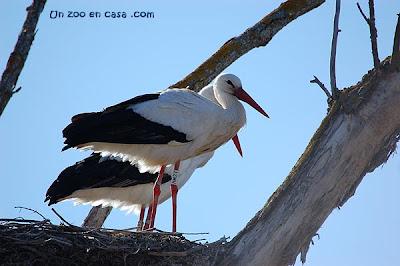 Cigüeñas en su nido