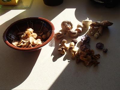 grzyby 2016, grzyby w październiku, grzyby w Lesie Bronaczowa, grzyby w okolicach Krakowa, gąsówka naga, gąsówka fioletowawa, Lepista nuda, łuszczak zmienny Kuehneromyces mutabilis, Maślanka wiązkowa Hypholoma fasciculare, Maślanka ceglasta Hypholoma lateritium, Czubajka czerwieniejąca Chlorophyllum rachodes, piestrzyca kędzierzawa - Helvella crispa, Czernidłak kołpakowaty Coprinus comatus, Sromotnik smrodliwy, sromotnik bezwstydny Phallus impudicus, podgrzybek brunatny Boletus badius, Tęgoskór pospolity Scleroderma aurantium, pieprznik trąbkowy Cantharellus tubeaformis