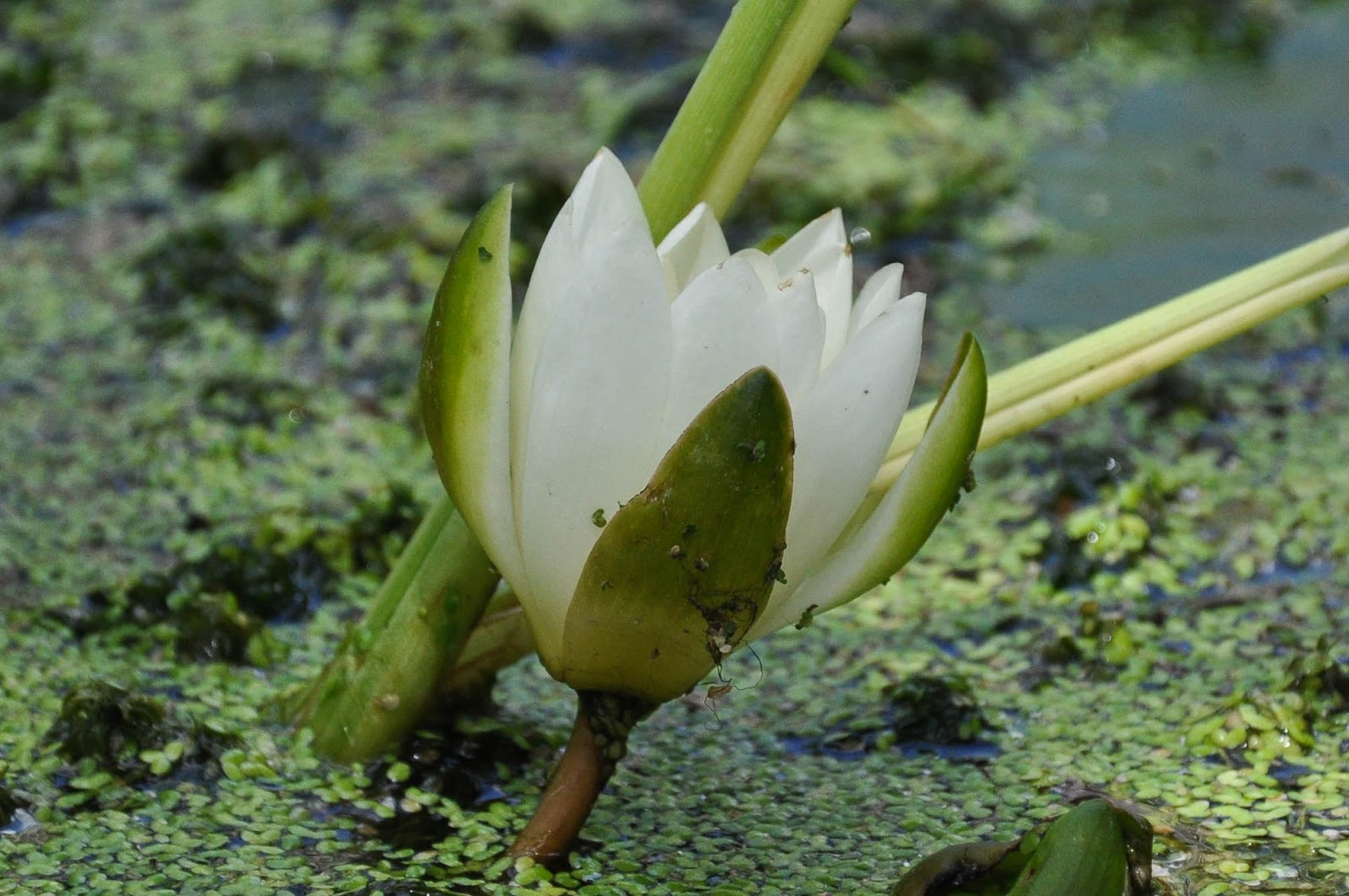 Water lilly, Designer Gardens, The Butterfly World Project, St. Albans, Herts, UK