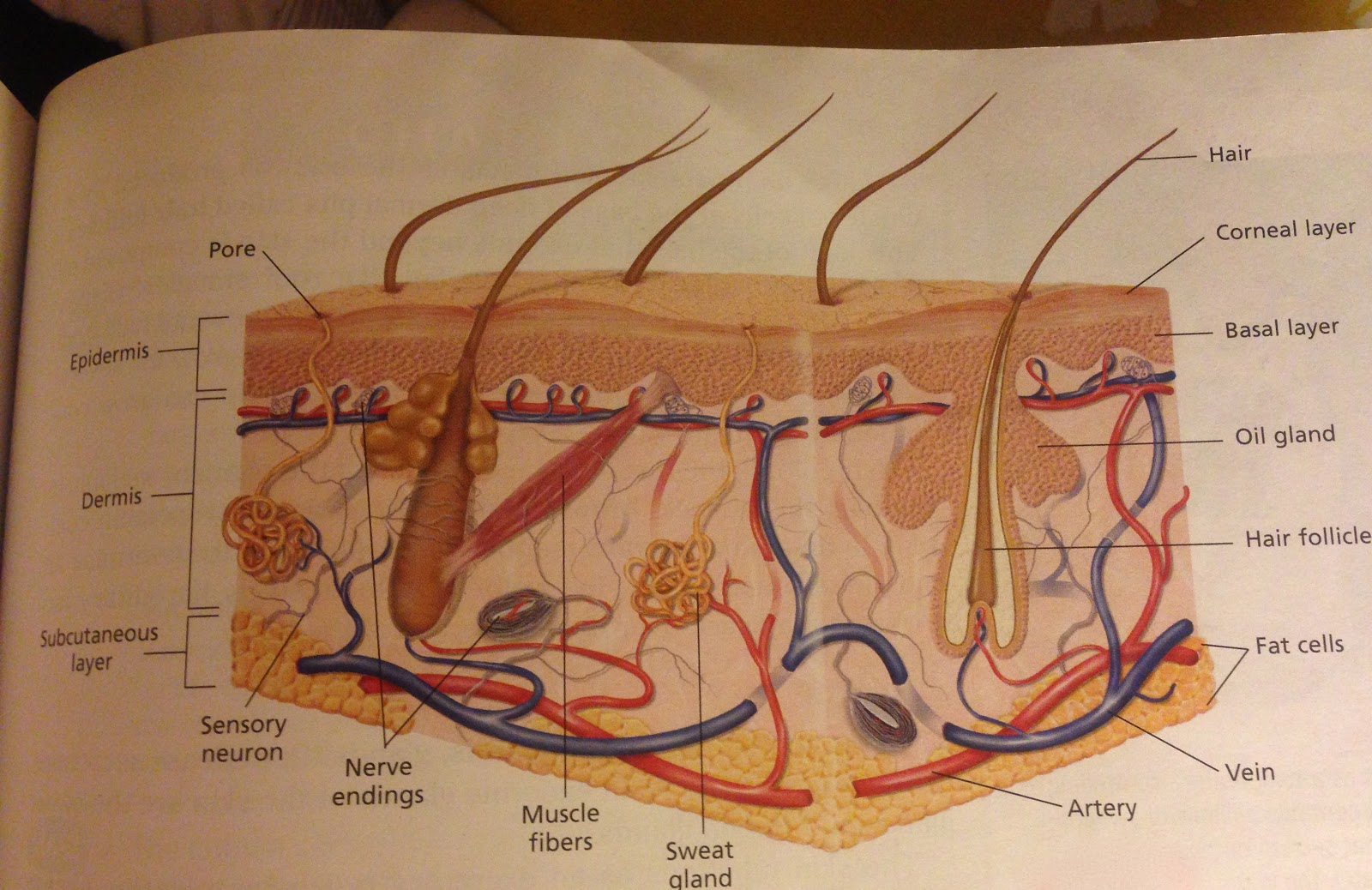 Evolution Comparison Integumentary System