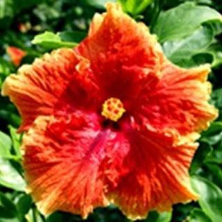 Gambar Bunga Alamanda yang Indah 4