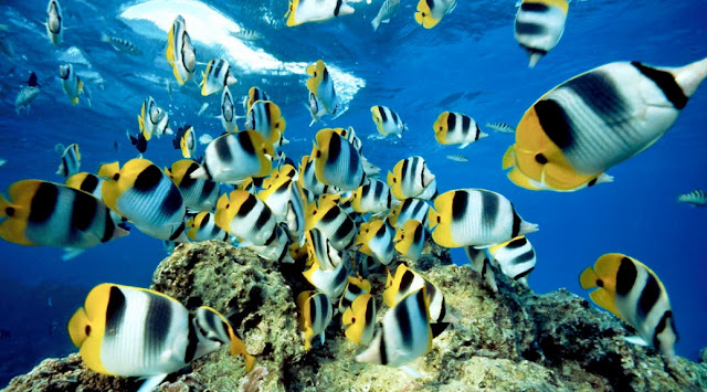 Butterfly Fish facts, information and pictures 5