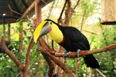 Tucan en Costa Rica