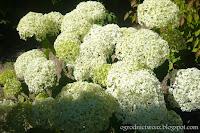 Hortensja drzewkowata 'Annabelle'- Hydrangea arborescens 'Annabelle'
