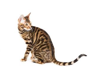 gambar kucing Toyger