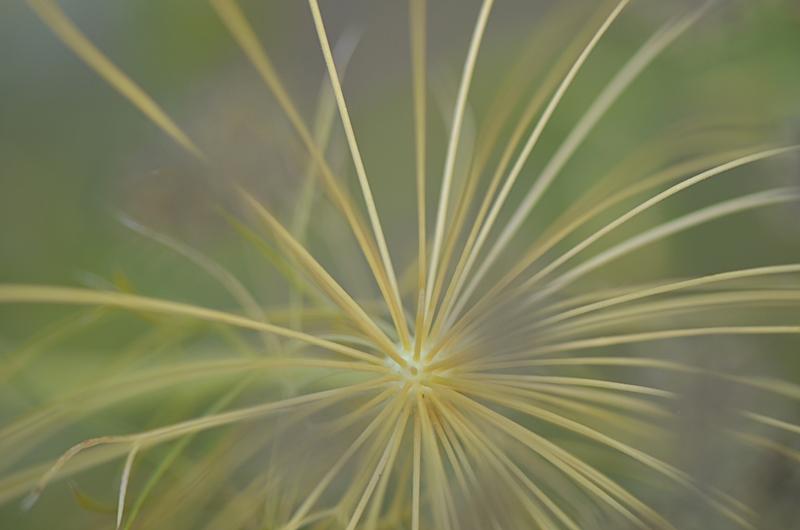 nature jardin fleur poesie reve ombelle