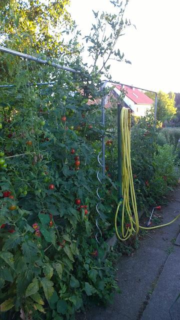 Tomaten Quadro am Rankgerüst im Vergleich zum Spiralstab  für Tomaten (c) by Joachim Wenk