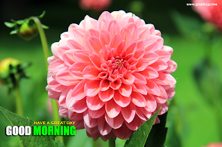 good morning greetings dahlia flower Images