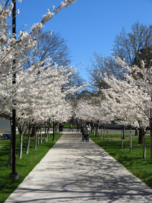 Prunus x yedoensis Japanese Flowering Cherry Yoshino allee  blooms Sakura Project University of Toronto Robarts Library by garden muses--not another Toronto gardening blog
