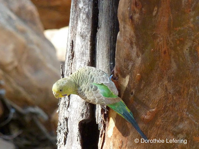 Yellow-green budgie sitting on the bark of a tree.