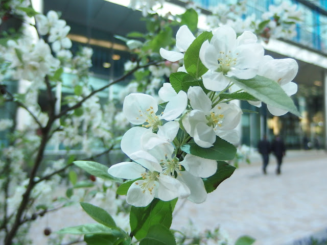 Crab apple blossom in bloom just minutes away from Paddington Station in the new Paddington Central development