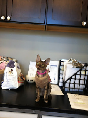 Kely the Cornish Rex at work