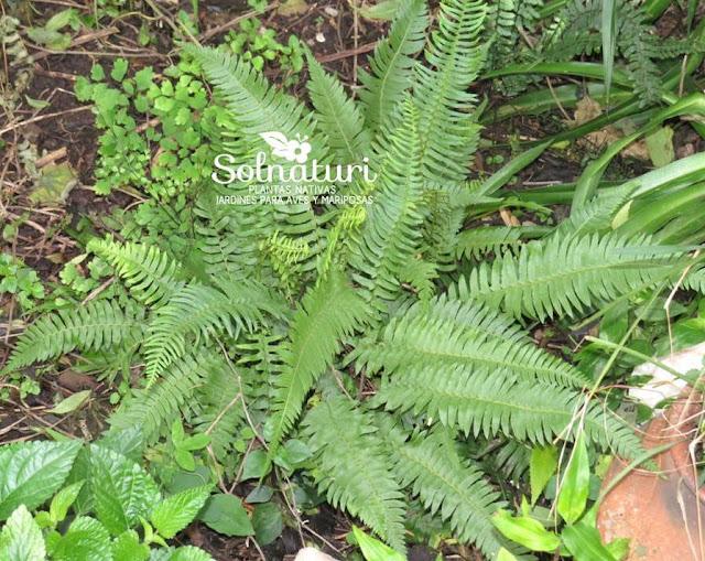 Blechnum auriculatum