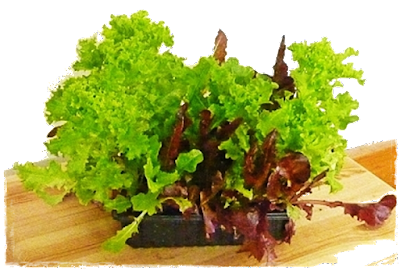 re-grown living lettuce