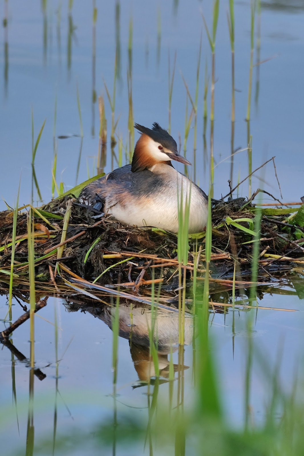 Picture of a great crested grebe incubating eggs.