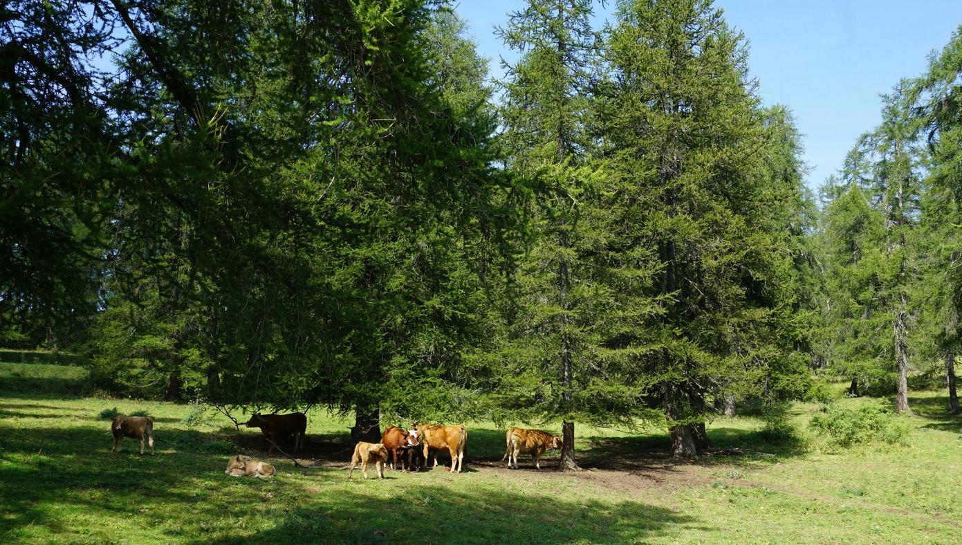 Livestock above Valberg