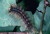 Gypsy moth caterpillars have been munching on New England's trees, causing widespread damage. (Photo credit: USFWS/James Appleby) Click to Enlarge.