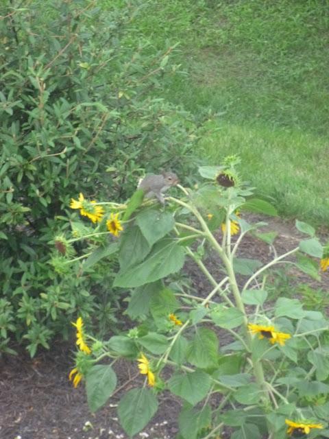 摆在向日葵的灰鼠